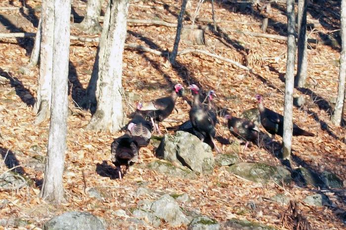 Dec 2012 male turkeys