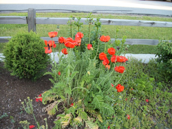 Cellar Door, poppies