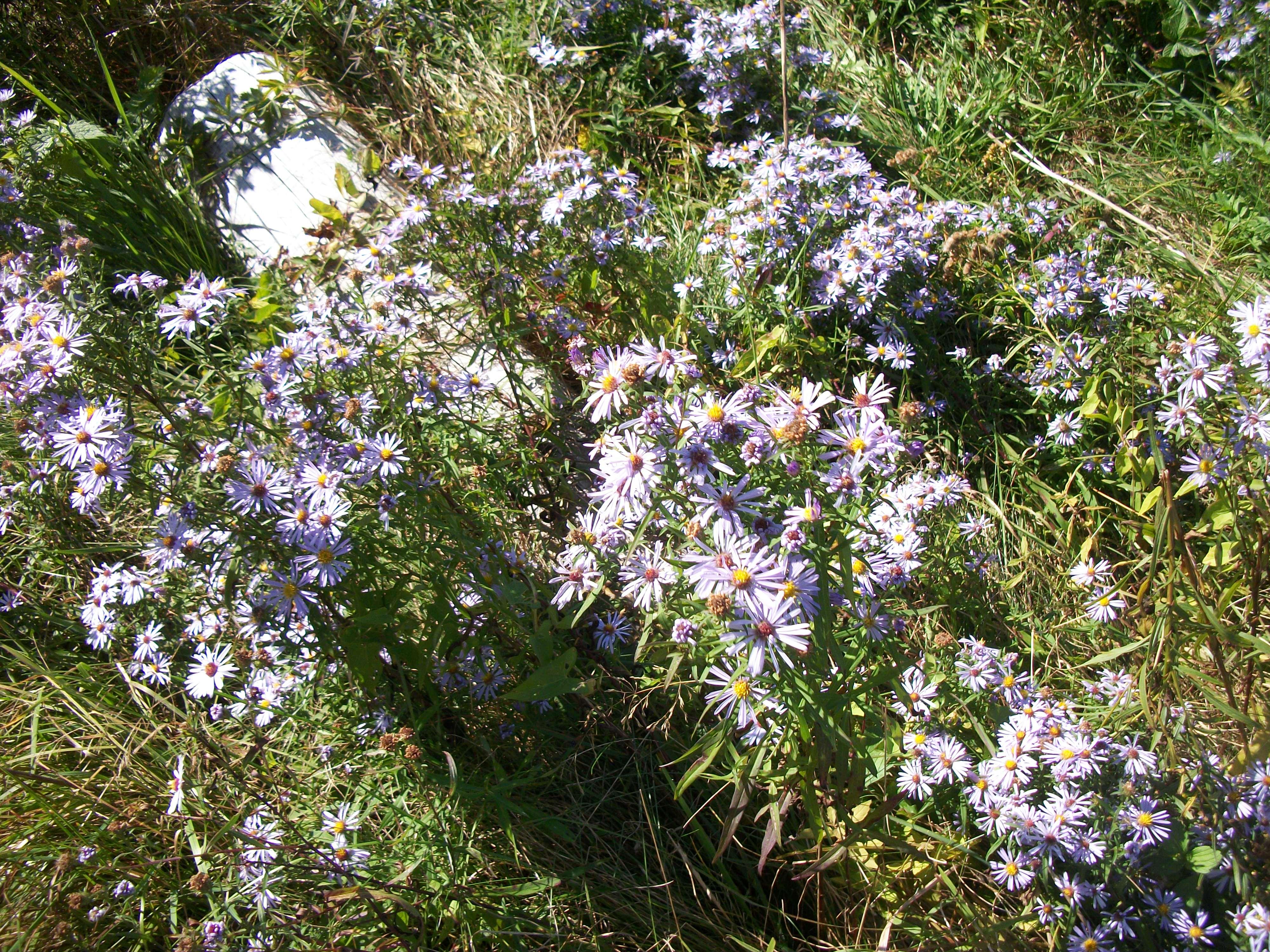 Vinalhaven purple asters